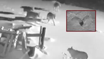 Ardahan'da köye inen kurt sürüsü 2 köpeği telef etti o anlar kamerada